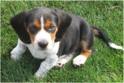 Muffy the Beagle - 1970s